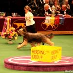 side gait in the group ring at Westminster